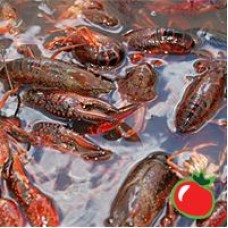 Live Louisiana Crawfish 100 lbs Plus (SELECT) price per lb